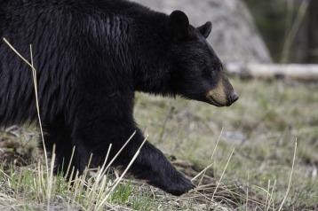 black-bear-1901957_640 (1).jpg
