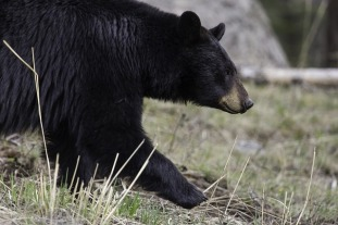 black-bear-1901957_640