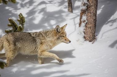 coyote-1901993_640.jpg