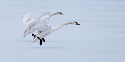 geese-2415834_640