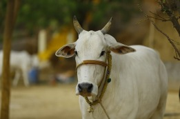 indian-cow-2579534_640