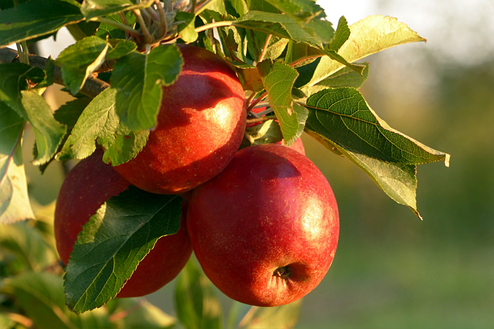 Do You know the Magick of the Apple tree?